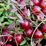 Органическое масло семян клюквы