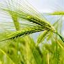Органическое масло зародышей пшеницы